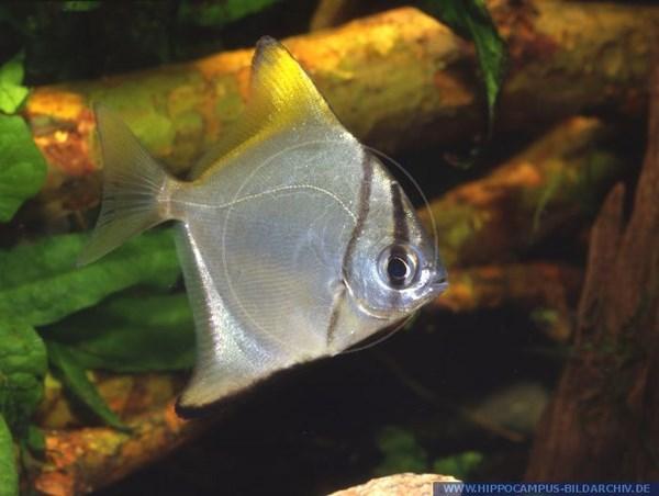 Monodactylus_argenteus_11