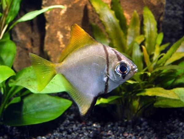 Монодактилус серебряный (Monodactylus argenteus)