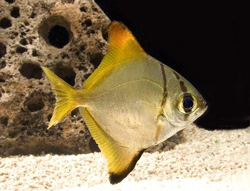 Monodactylus_argenteus_9