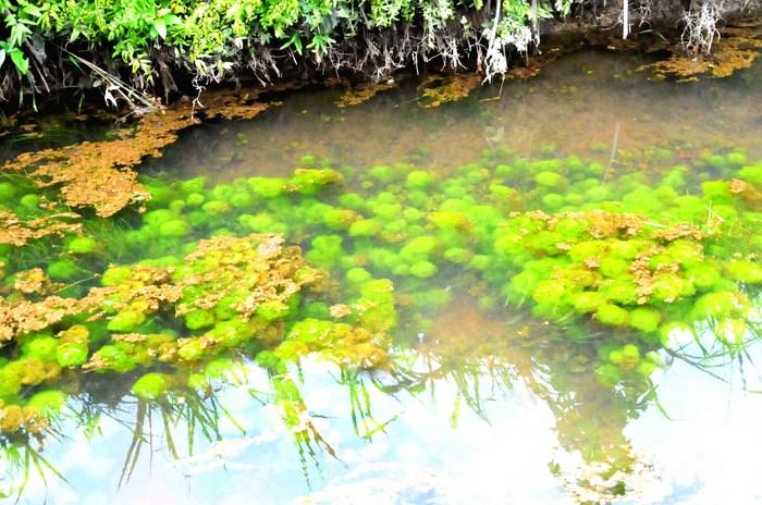 Кабомба водная в природе
