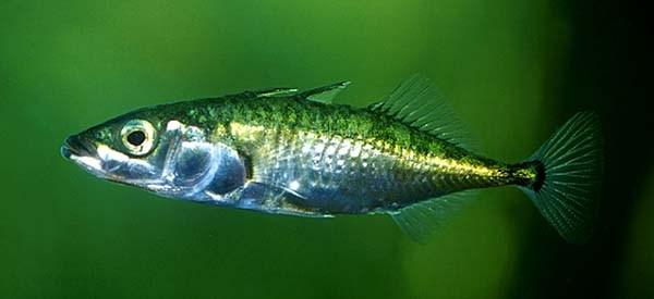 Колюшка трёхиглая (Gasterosteus Aculeatus)