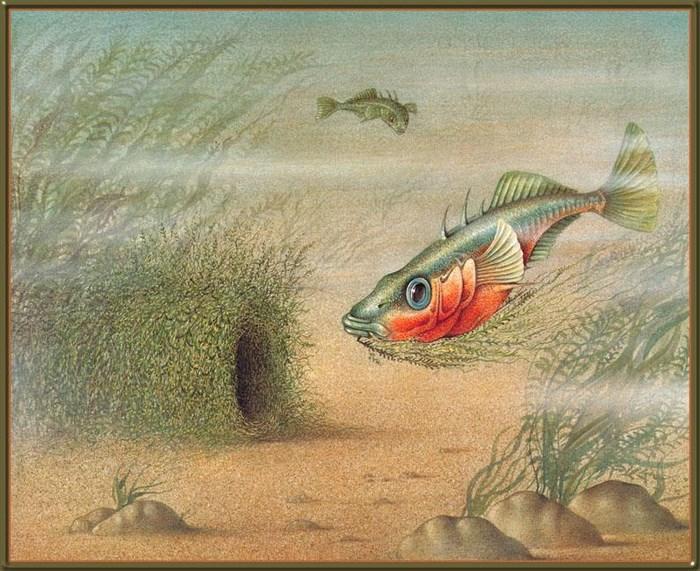 Gasterosteus_Oculeatus_12