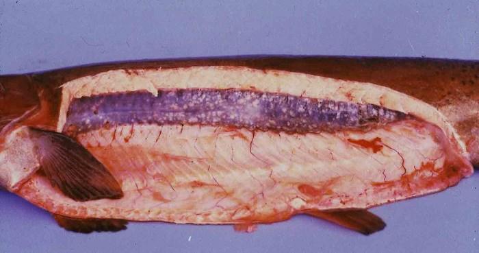 Ichthyophonus_1