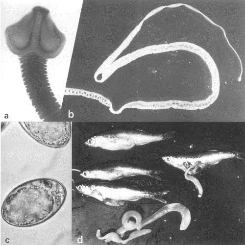 Кариофилиды (Caryophyllidea)