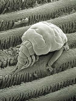 Эргасилиды (Ergasilidae)