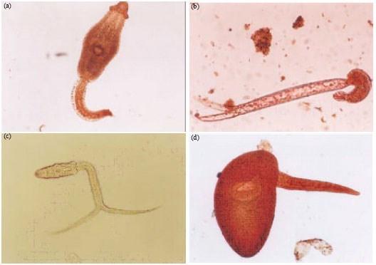 Возбудитель (Sangui nicolidae)