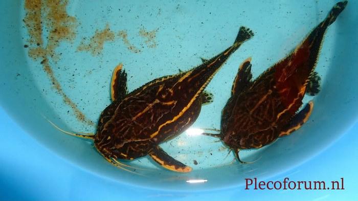 Самка (слева) и самец