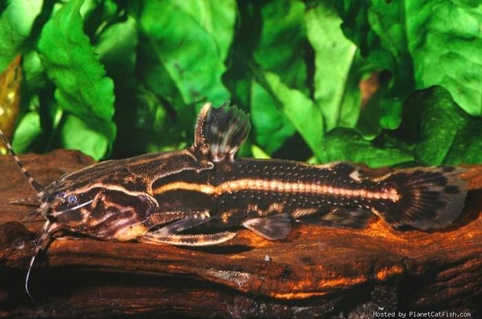 Акантодорас Шоколадный (Acanthodoras cataphractus)
