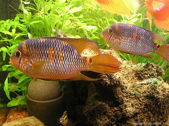 Самец(слева) и самка