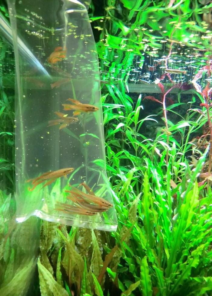 Двухполосные афиосемионы готовятся к запуску в аквариума