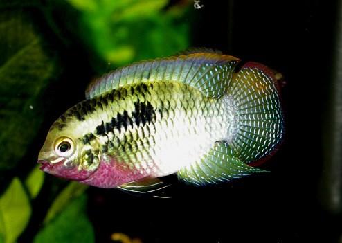 Акара Красногрудая (Laetacara dorsigera)