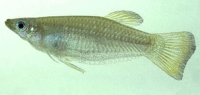 Внешность Альфаро Бирюзовый (Alfaro cultratus)