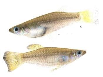 Самец(внизу) и самка(вверху)