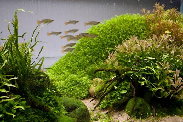 Стая Альфаро Бирюзовых в аквариуме