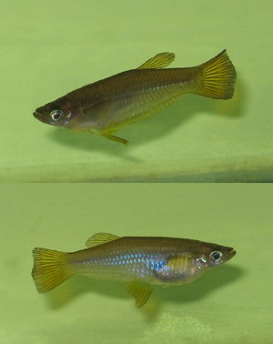 Самец(вверху) и самка