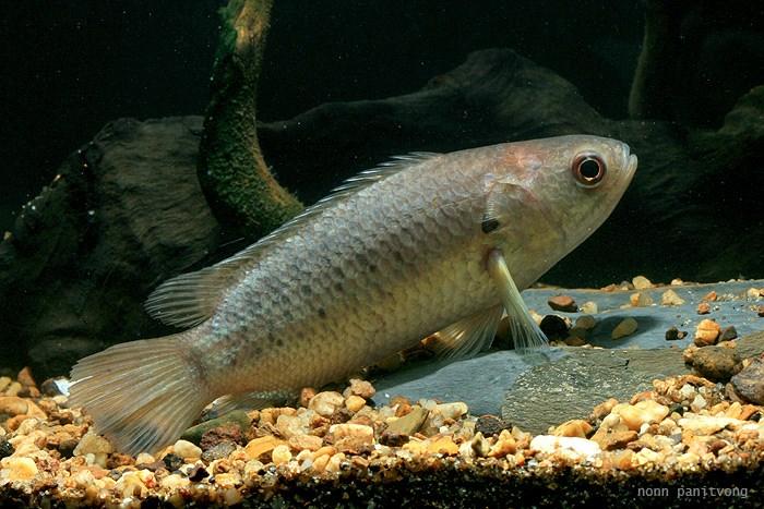 Анабас Рыба-ползун (Anabas testudineus)