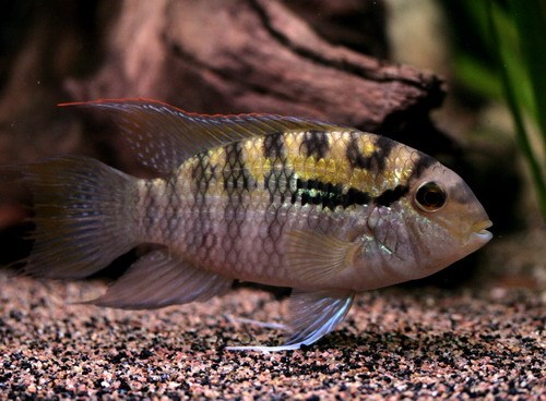 Акара Парагвайская (Bujurquina vittata)