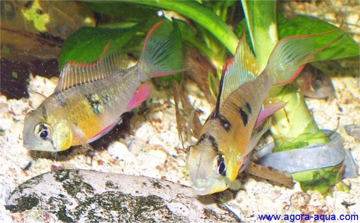 Самец(справа) и самка Альтиспинозы